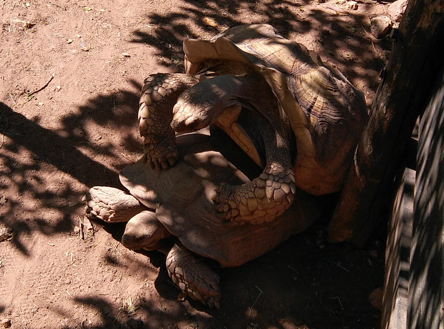 Reproduction des tortues